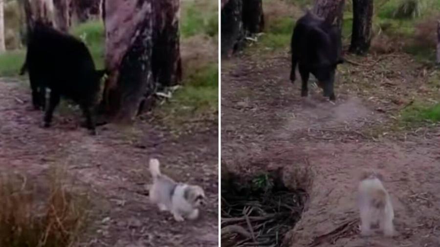 Perrito confronta a un toro que lo perseguía