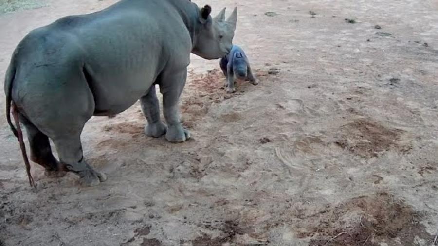 Nace en Australia rinoceronte negra, una de las especies en peligro de extinción
