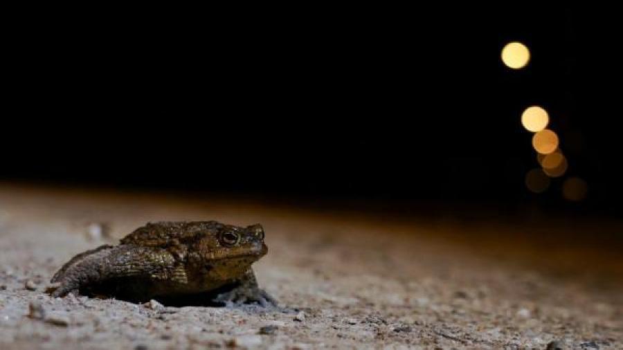 Detienen tráfico en Estonia por tránsito de ranas y sapos